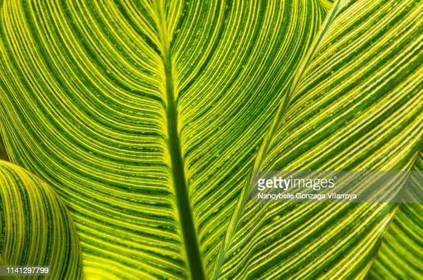 close up of variegated canna leaves - canna lily stock pictures, royalty-free photos & images