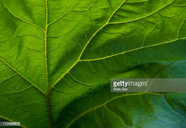 Close up of veins in green leaf
