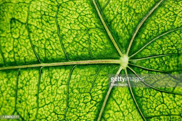 Close up of veins in leaf