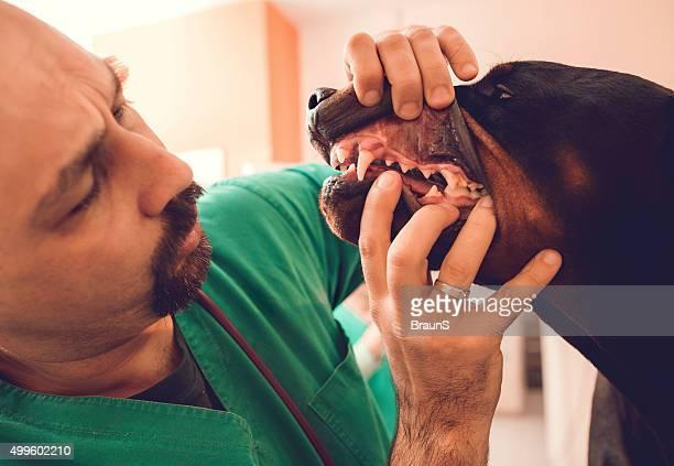 Close up of veterinarian examining teeth of a black dog.
