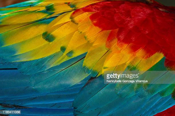 close up of vibrant coloured feathers of green winged macaw - harlequins stock pictures, royalty-free photos & images