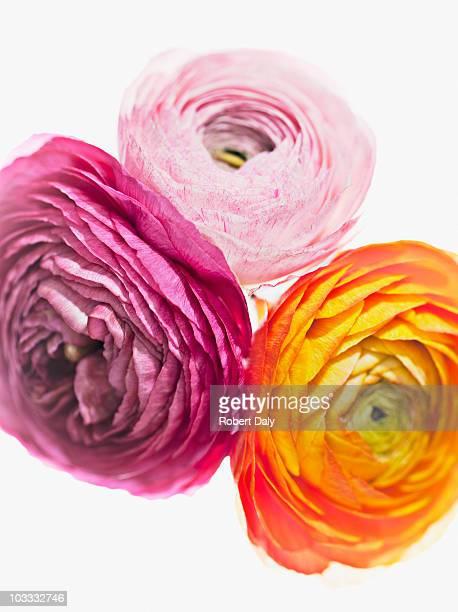 Close up of vibrant ranunculus