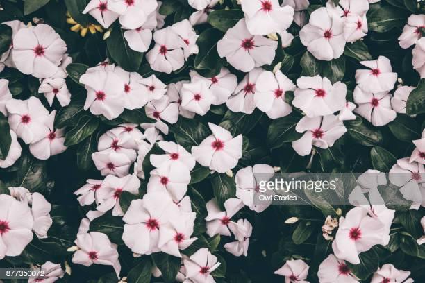Close up of vinca flowers