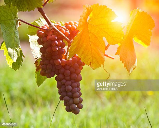 Close up of vine leaf and bunch of grapes in vineyard, Alsace, Lorraine, France