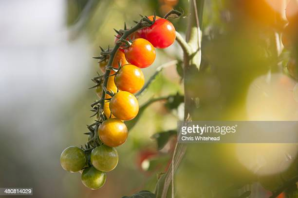 Close up of vine tomatoes ripening on plant in sunlight