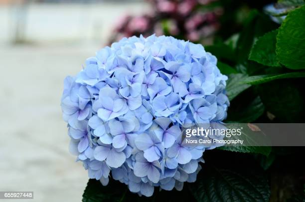 Close Up Of Violet Blue Hydrangea Flowers