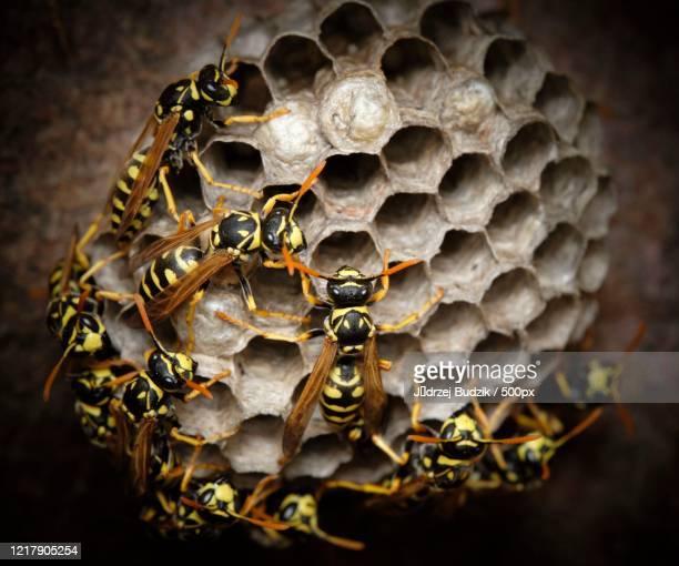 close up of wasps (vespa) in nest - nido di vespe foto e immagini stock
