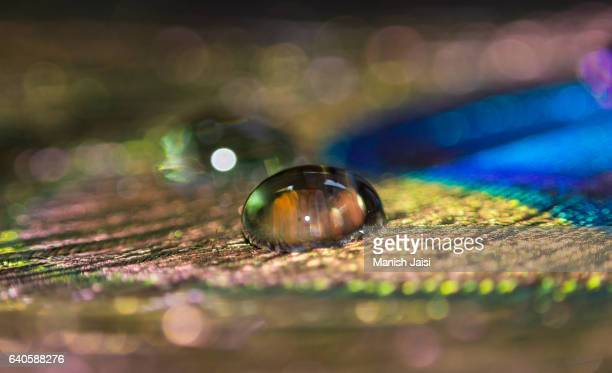 Close up of water drop on Peacock feather