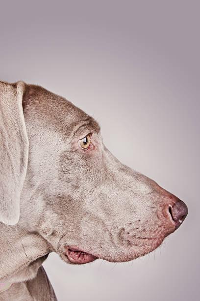Close up of  Weimaraner dog