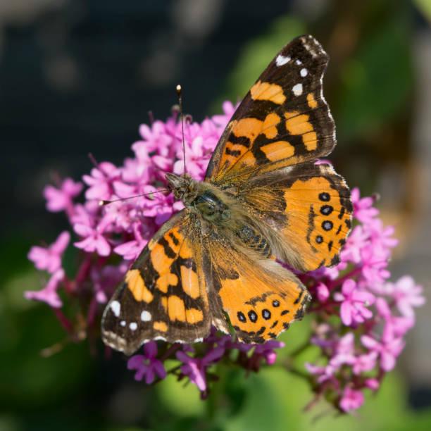 Close up of west coast lady (Vanessa annabella) on flower