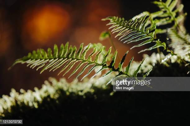 close up of western sword ferns, polystichum munitum. - argyroxiphium sandwicense - fotografias e filmes do acervo