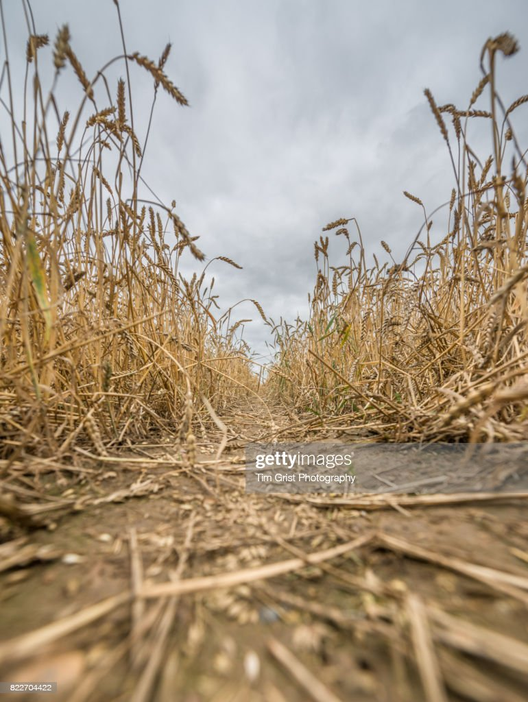 Close Up of Wheat Growing in an Essex Field : Stock Photo