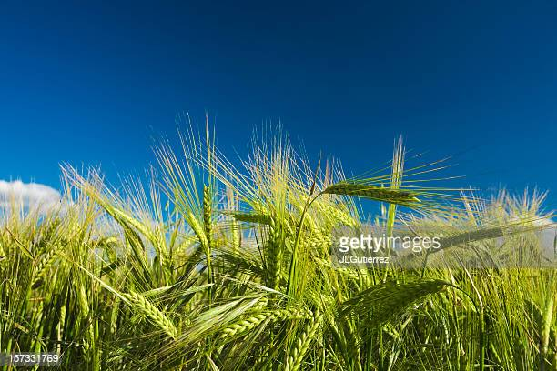 Close up of wheat in a field with blue skies