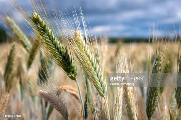 close up of wheat - wheat stock pictures, royalty-free photos & images