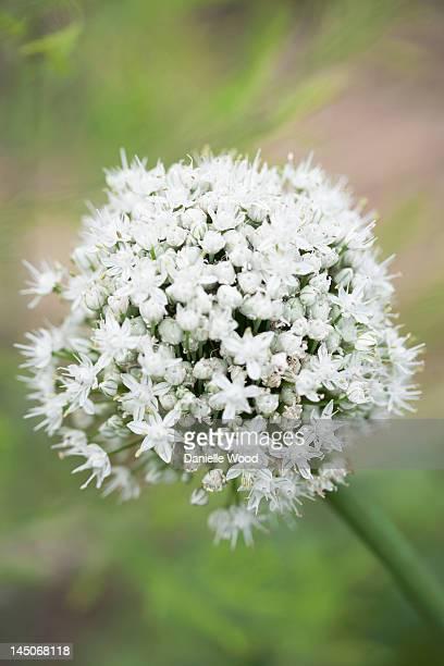 close up of white allium flower - allium flower stock pictures, royalty-free photos & images