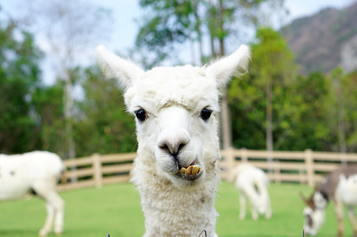 Close up of White Alpaca Looking Straight Ahead in the beautiful green meadow, It's curious cute eyes looking in the camera. 673957600