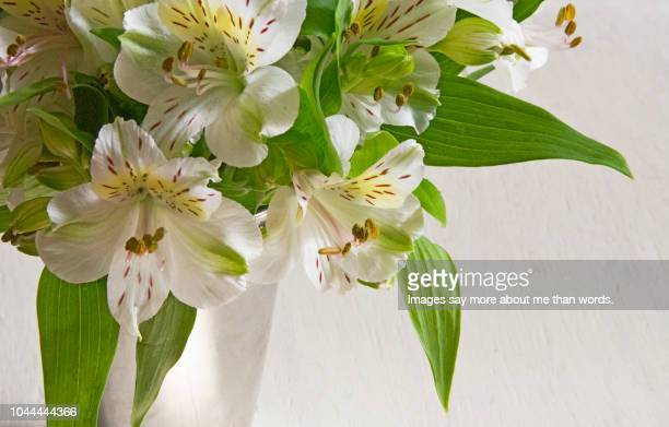 a close up of white alstroemerias over a white background. still life. - alstroemeria stock pictures, royalty-free photos & images