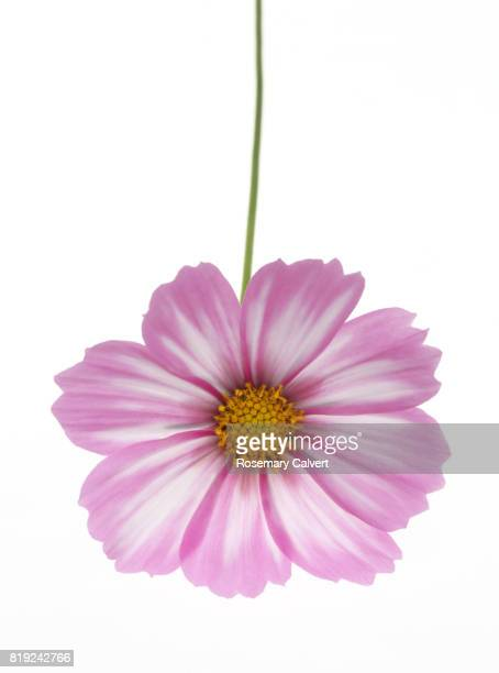 Close up of white and pink cosmos flower on white.