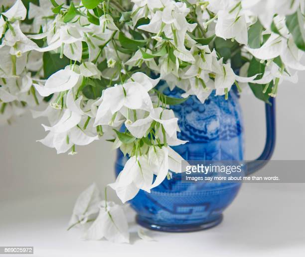 A close up of white bougainvilleas in a blue and white antique jar.
