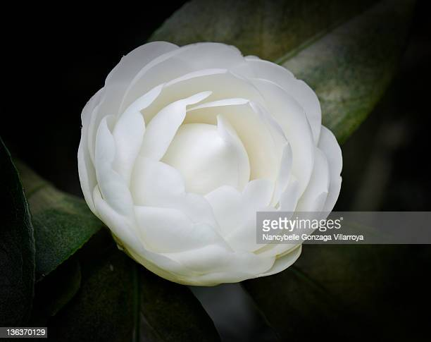 close up of white camellia - nancybelle villarroya stock photos and pictures
