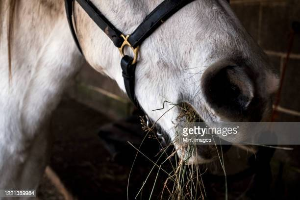 close up of white cob horse eating hay. - herbivorous stock pictures, royalty-free photos & images