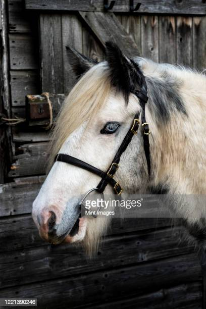 close up of white cob horse standing outside stable. - herbivorous stock pictures, royalty-free photos & images