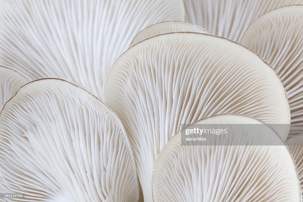 Close up of white colored Oyster mushroom : Stock Photo