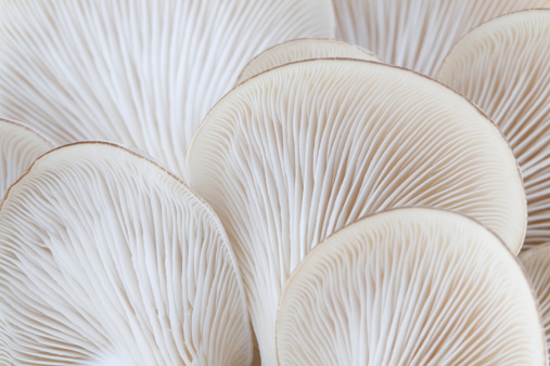 Close up of white colored Oyster mushroom 157444120