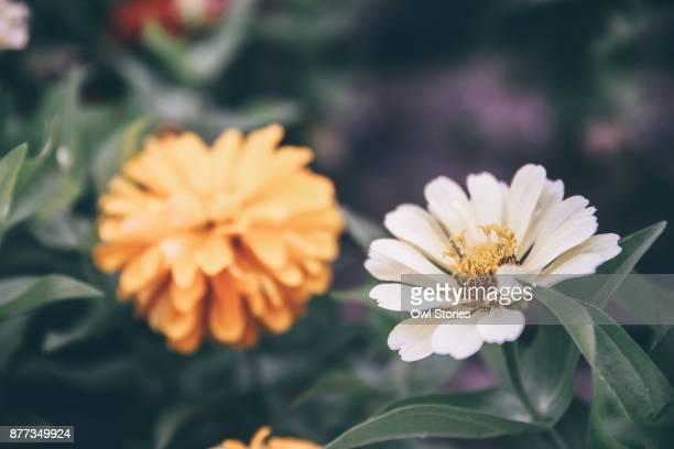 Close up of white dahlia