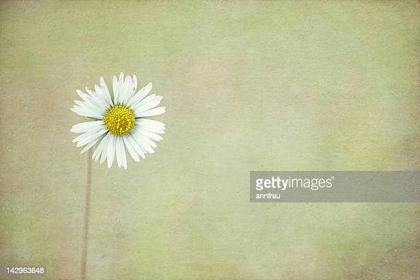 close up of white daisy - annfrau stock pictures, royalty-free photos & images