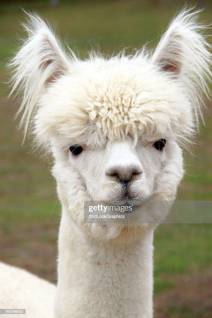 Alpaca Face Close Up Of Whi...
