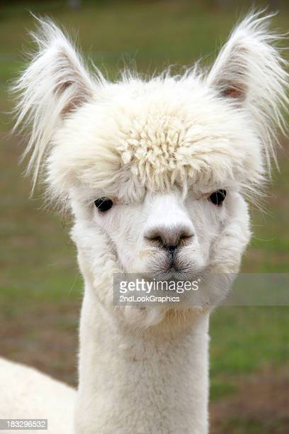 Close up of white furry Alpaca face