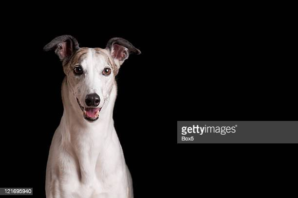 Close up of white greyhound against black background