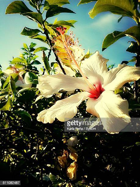 Close up of white hibiscus flower