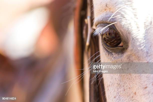 Close up of white horses eye and lashes.