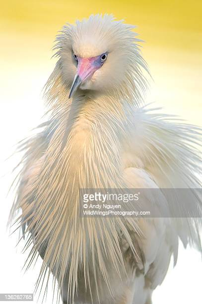 Close up of White morph of Reddish egret