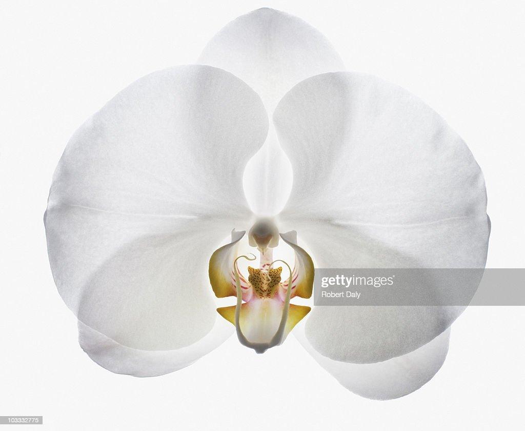 Gros plan d'orchidée blanche : Photo