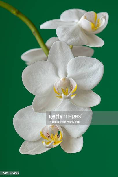 Close up of White Orchids on a Stem