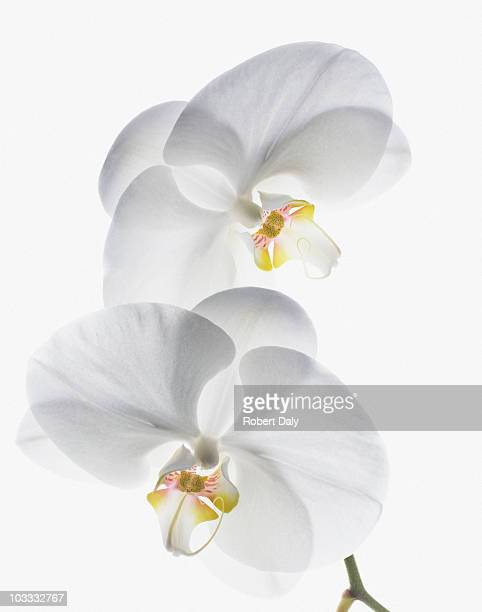 close up of white orchids on stem - orchid flower stock pictures, royalty-free photos & images