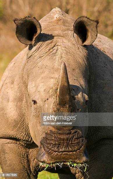 Close up of White Rhinoceros, Greater Kruger National Park, South Africa
