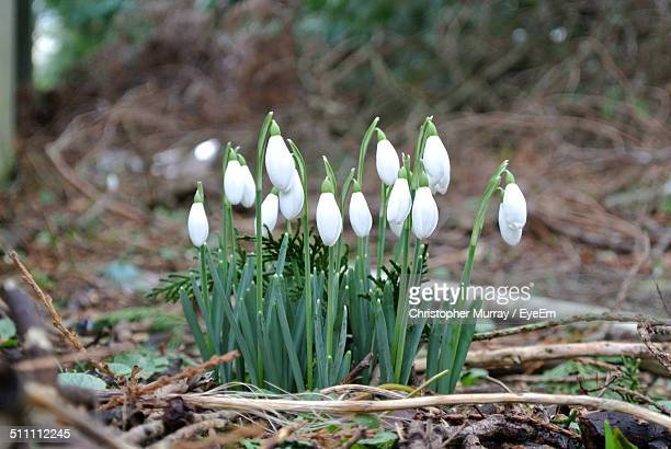 Close up of white snowdrops
