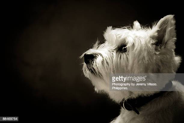 close up of white terrier - west highland white terrier stock photos and pictures