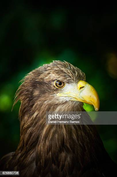 Close up of White-tailed eagle. Haliaeetus albicilla