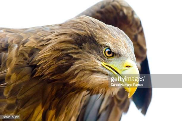 Close up of White-tailed eagle head. Haliaeetus albicilla