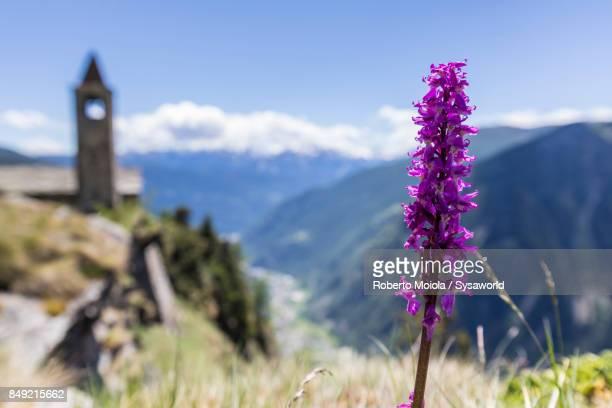 Close up of wild flower, San Romerio Alp, Switzerland