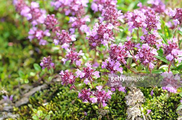 Creeping Thyme Stock Pictures Royalty Free Photos Images