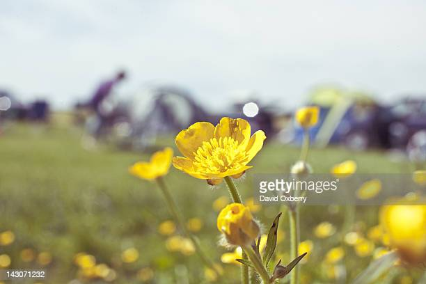 close up of wildflowers in field - buttercup stock pictures, royalty-free photos & images