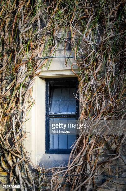 Close up of window surrounded by gnarly bare branches of a climbing plant.