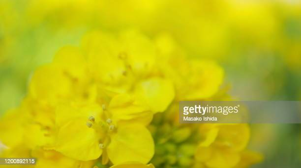 close up of winter rapeseed (canola) flower in the field ,selective focus - canola oil stock pictures, royalty-free photos & images