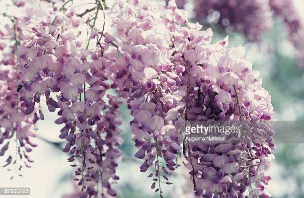 Close up of Wisteria blossoms during the 1981 Masters Tournament at Augusta National Golf Club on April 1981 in Augusta, Georgia.